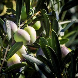 Lotion Crafting OliveM1000